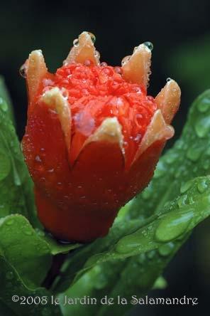 fleur de grenadier dans les vergers du jardin de la salamandre en dordogne. Black Bedroom Furniture Sets. Home Design Ideas