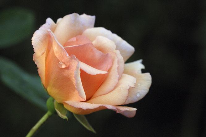 rosa hybride rose grimpant