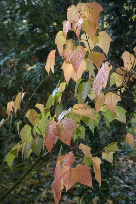 Acer rufinerve au jardin de la salamandre en dordogne for Au jardin de la nymphe bleue