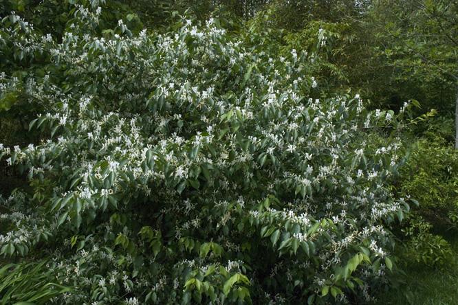 Растение жимолость фото и описание сортов посадка и уход