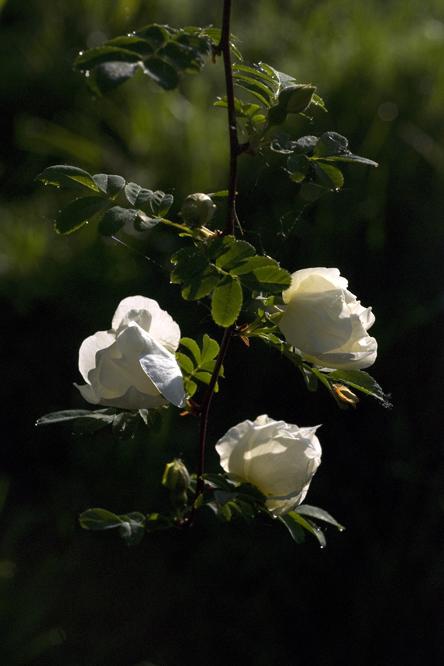 Rosa 39 cantabrigiensis 39 au jardin de la salamandre en dordogne for Jardin rosa alcoy