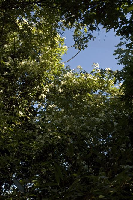 Rosa helenae au jardin de la salamandre en dordogne for Jardin wilson