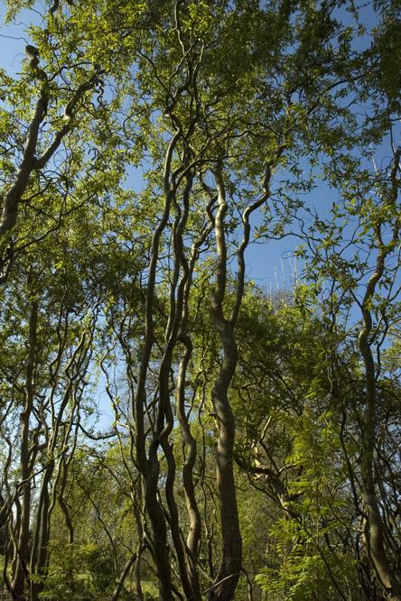 Salix 39 dart 39 s snake 39 au jardin de la salamandre en dordogne for Au jardin des saules