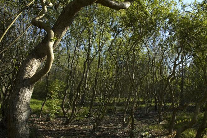 Salix erythroflexuosa au jardin de la salamandre en dordogne for Au jardin des saules