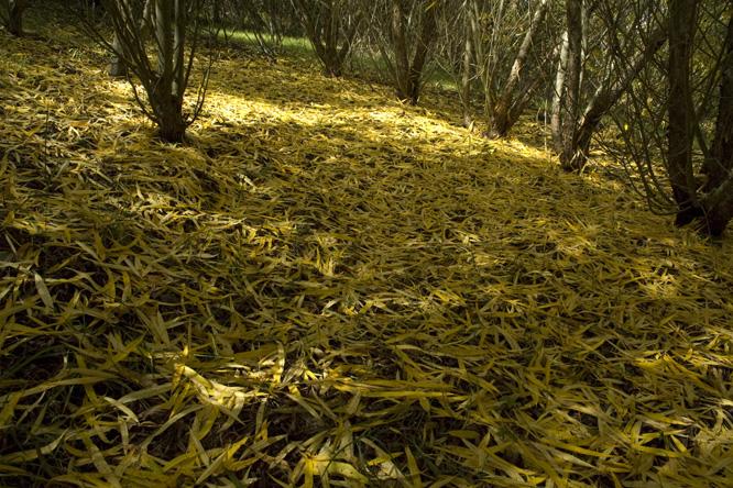 Salix gilgiana au jardin de la salamandre en dordogne for Au jardin des saules